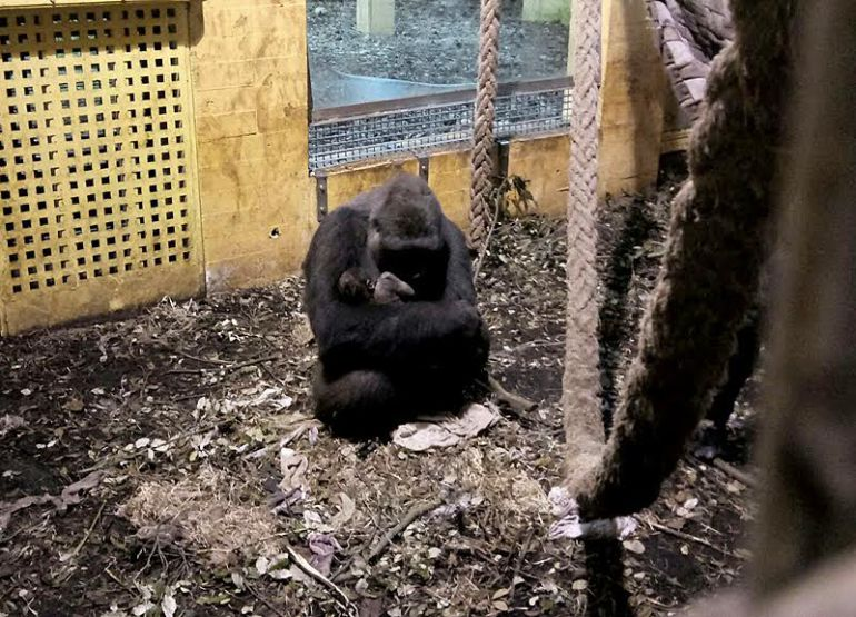 Madre e hijo gorila
