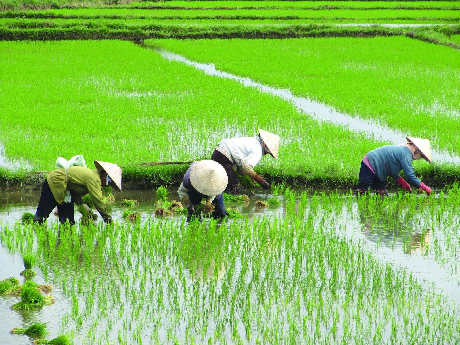 Chinos trabajando en un campo de arroz
