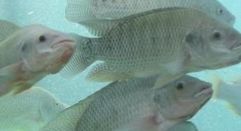 Alerta por un virus contagioso que afecta a los cultivos for Criadero de pescado tilapia