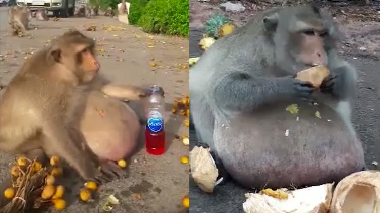 """Macaco """"Tío Gordo"""""""