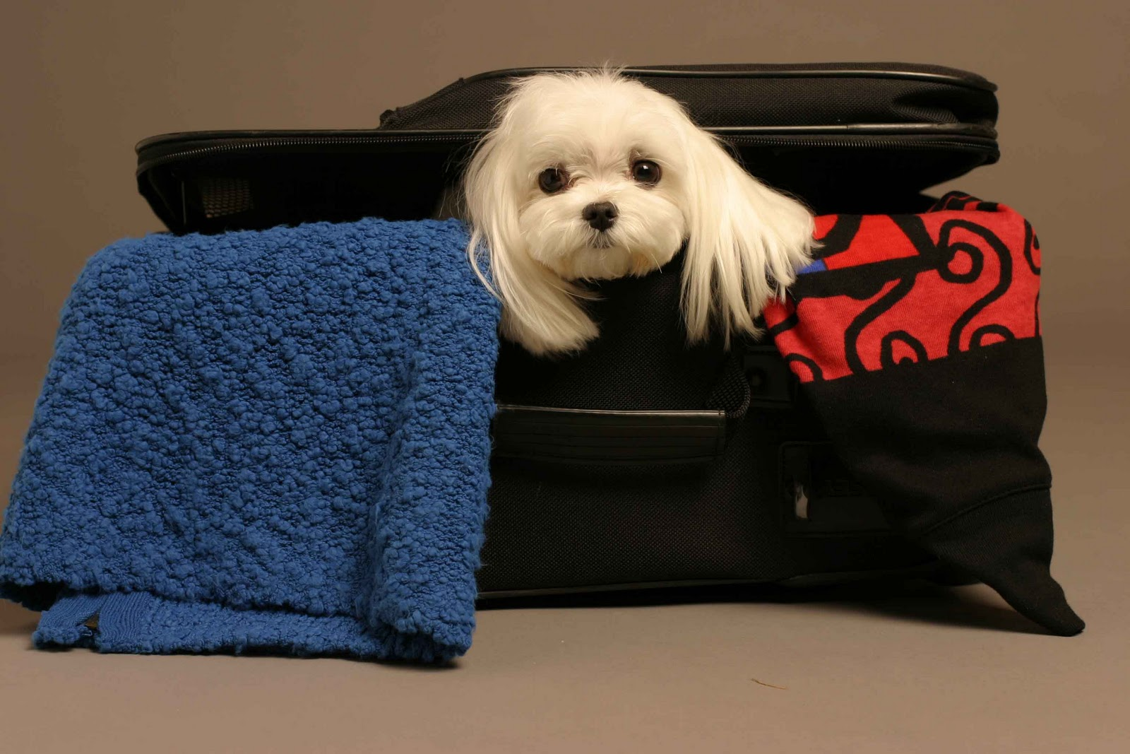 Un perro asomando en una maleta de viaje