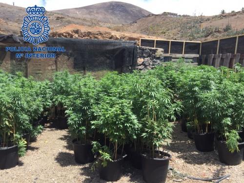 Incautados 750 kilos de marihuana al desmantelar una plantación en Lanzarote