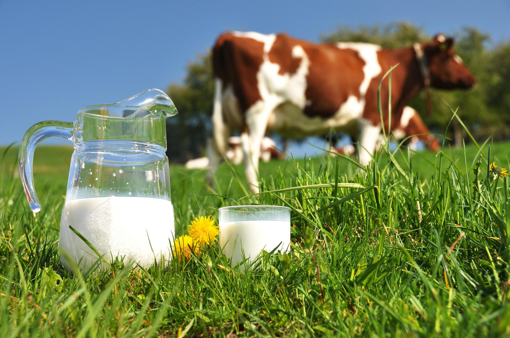 Jarra y vaso de leche en el campo y una vaca