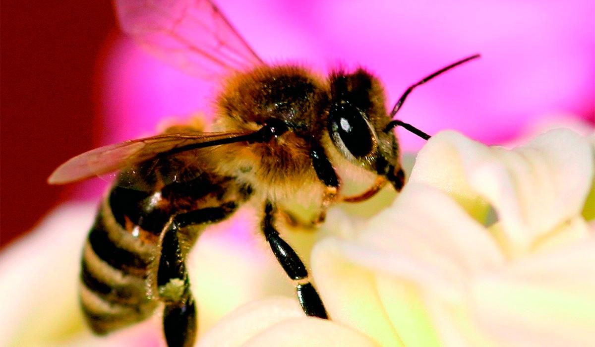 El Gobierno de Canarias abona 540.000 euros en ayudas a los productores de miel de abeja negra canaria