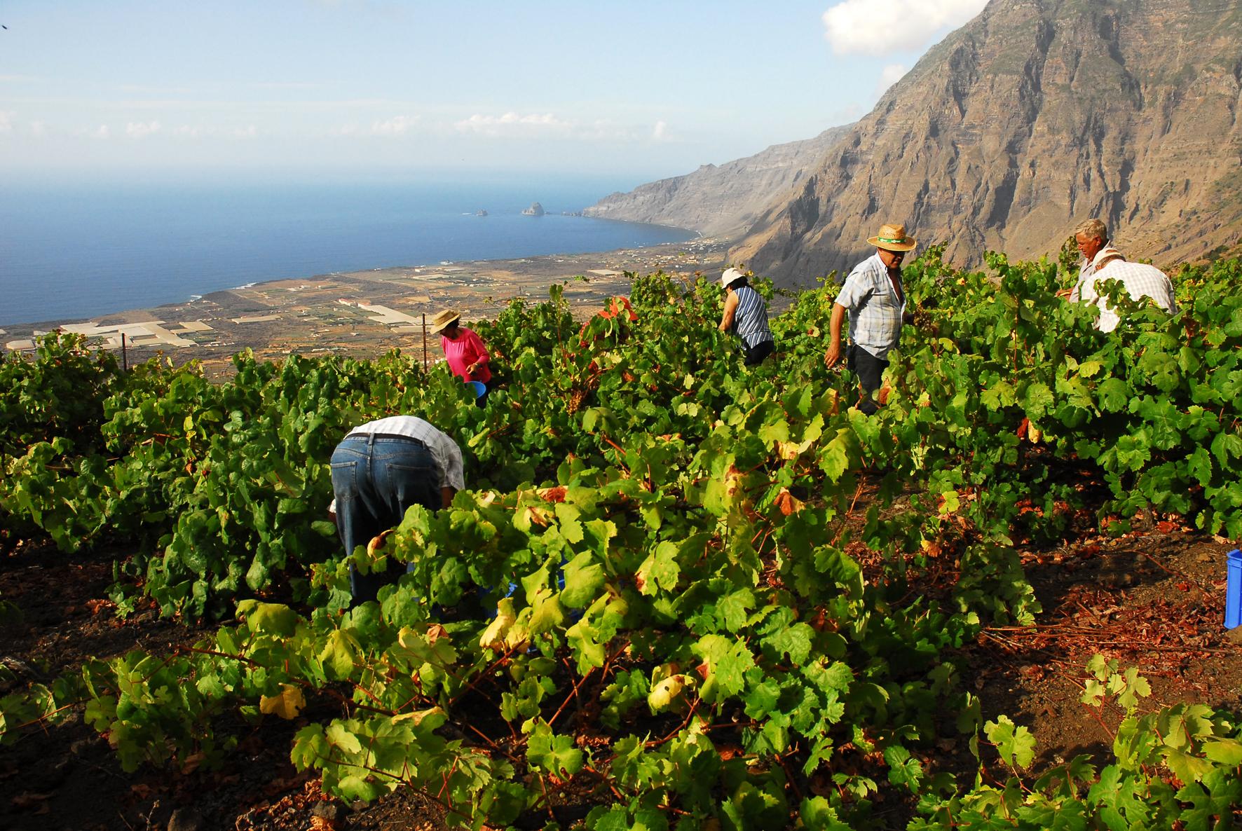 El Cabildo de El Hierro convoca subvenciones a la producción de uva