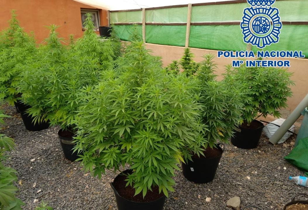 Resultado de imagen de Detenidos dos hombres que cultivaban plantas de marihuana en Candelaria