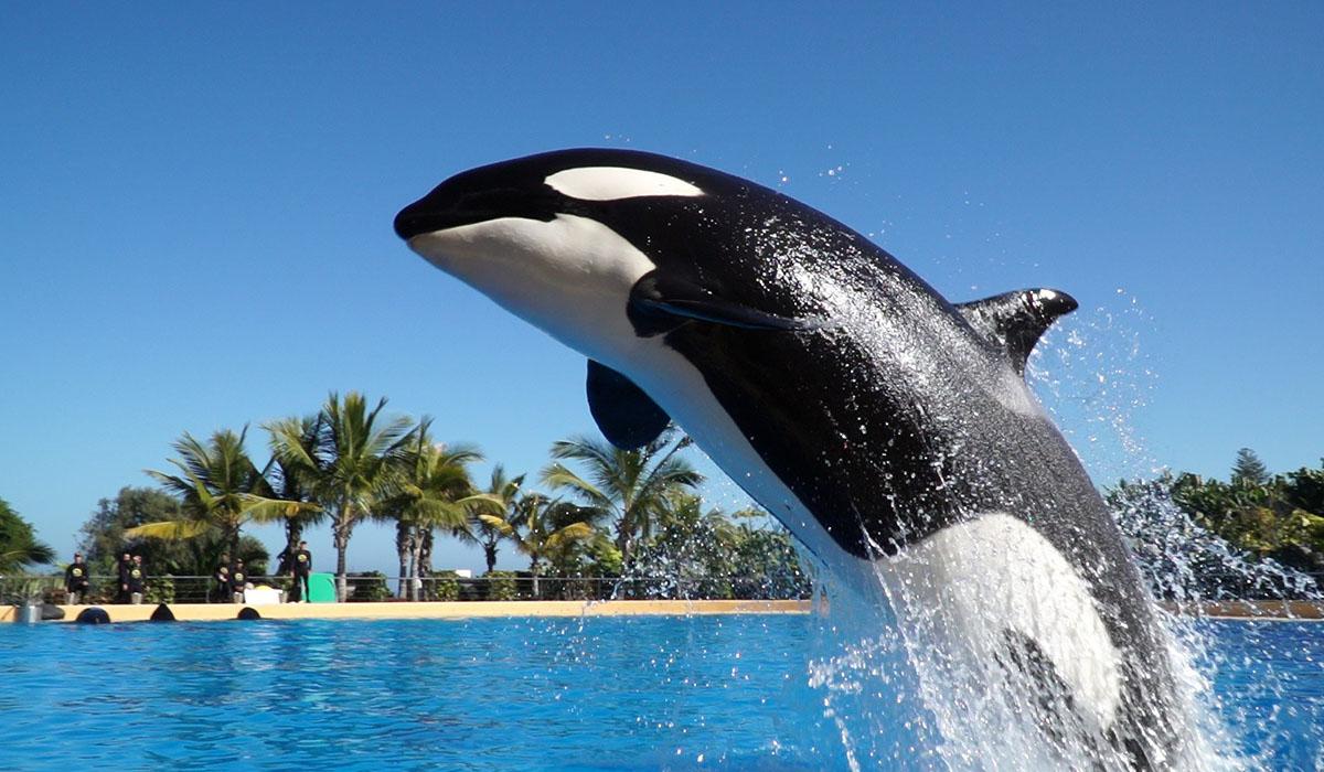 Nace en Loro Parque la primera cría de la orca Morgan