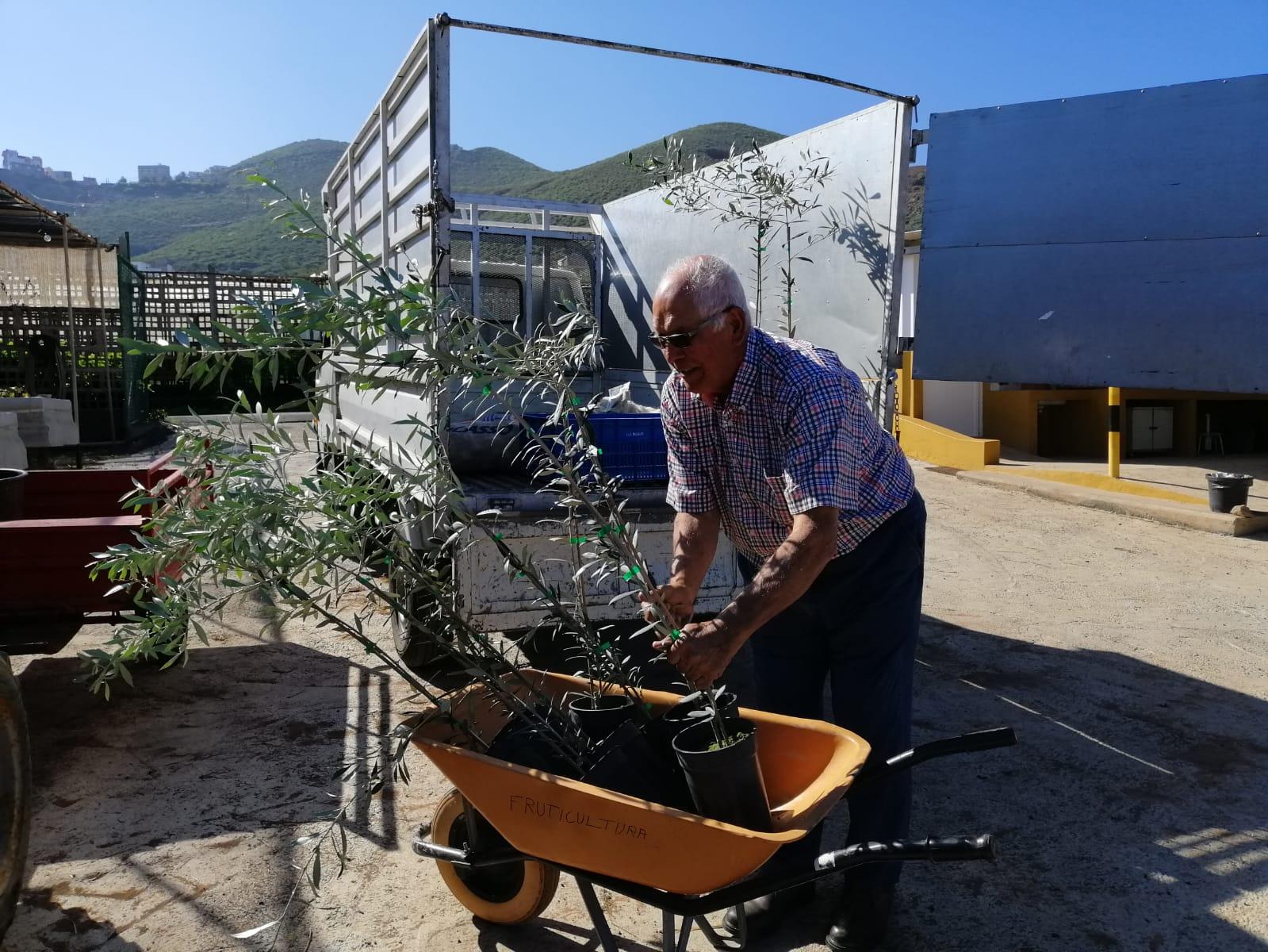 El Cabildo logra triplicar la reproducción del olivo verdial para fomentar esta variedad