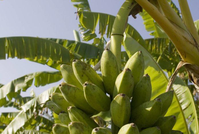 Canarias y el sector platanero trasladan a Europa su rechazo a reducción arancelaria a plátano de Colombia, Ecuador y Perú