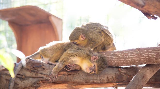 Oasis Park Fuerteventura acoge a diez primates rescatados de situaciones de maltrato