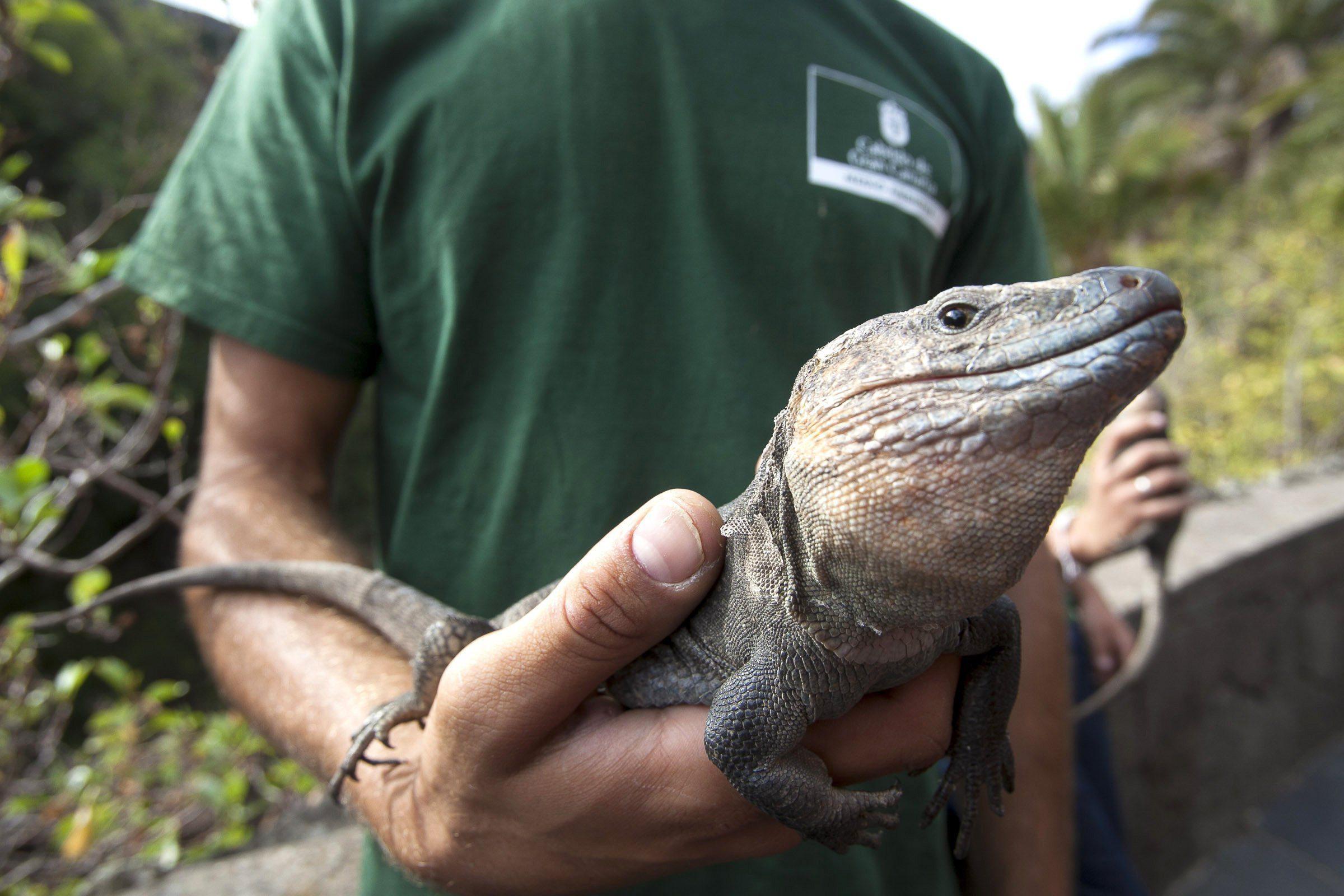 Ejemplar de lagarto gigante de El Hierro