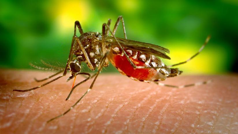 Mosquito transmisor del Dengue