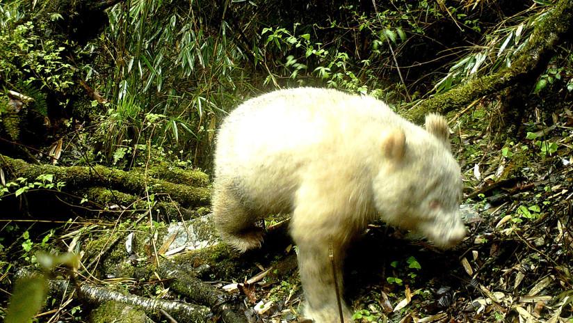Un panda gigante albino