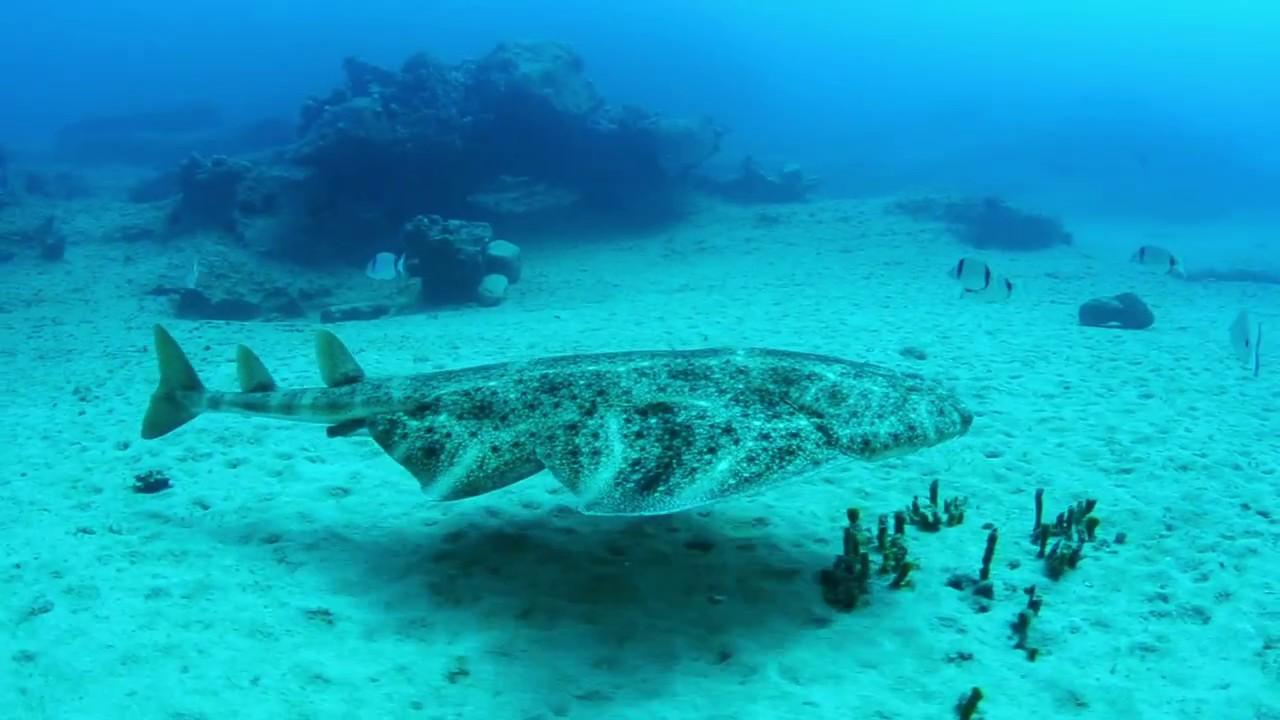 Tiburón Angelote