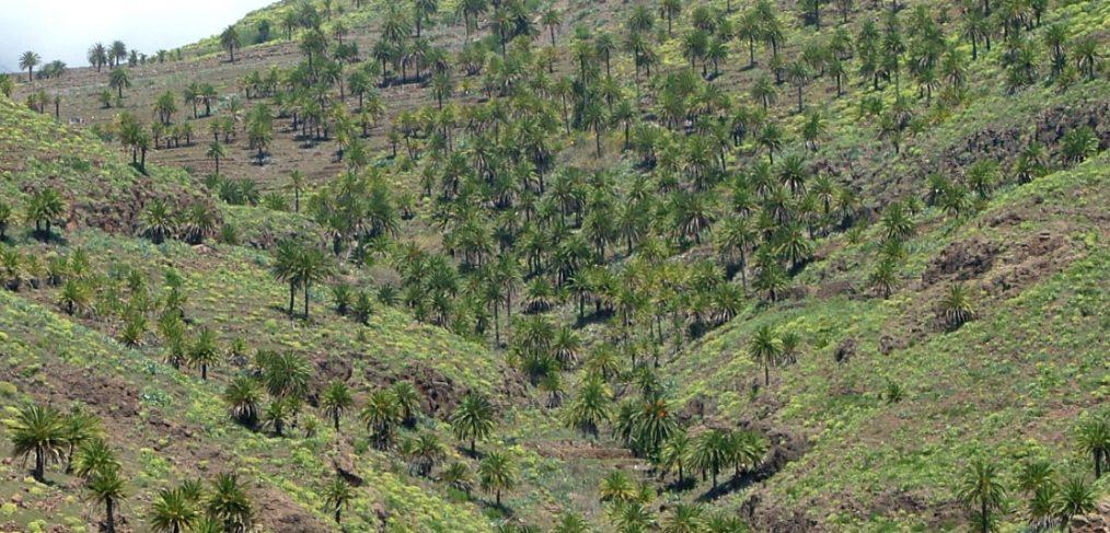 La Gomera potencia el aprovechamiento sostenible de la palmera canaria a través del proyecto ´Guarapo`