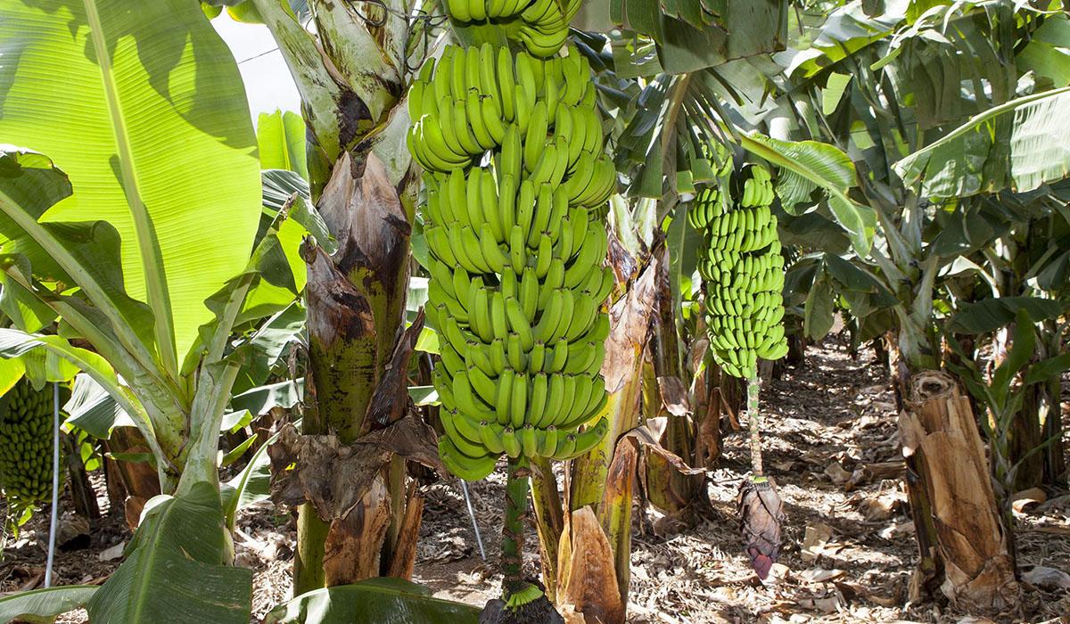 Agricultura de La Palma apuesta por incentivar el cultivo del plátano ecológico en el pacto de reconstrucción de Canarias