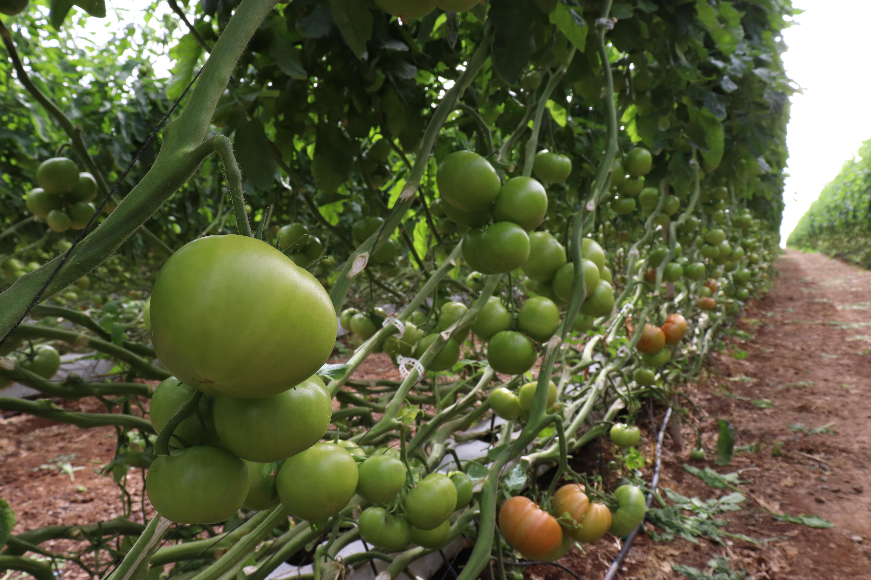 El Gobierno canario abona 5,8 millones de euros del POSEI a productores de tomate de exportación y forraje por hectárea