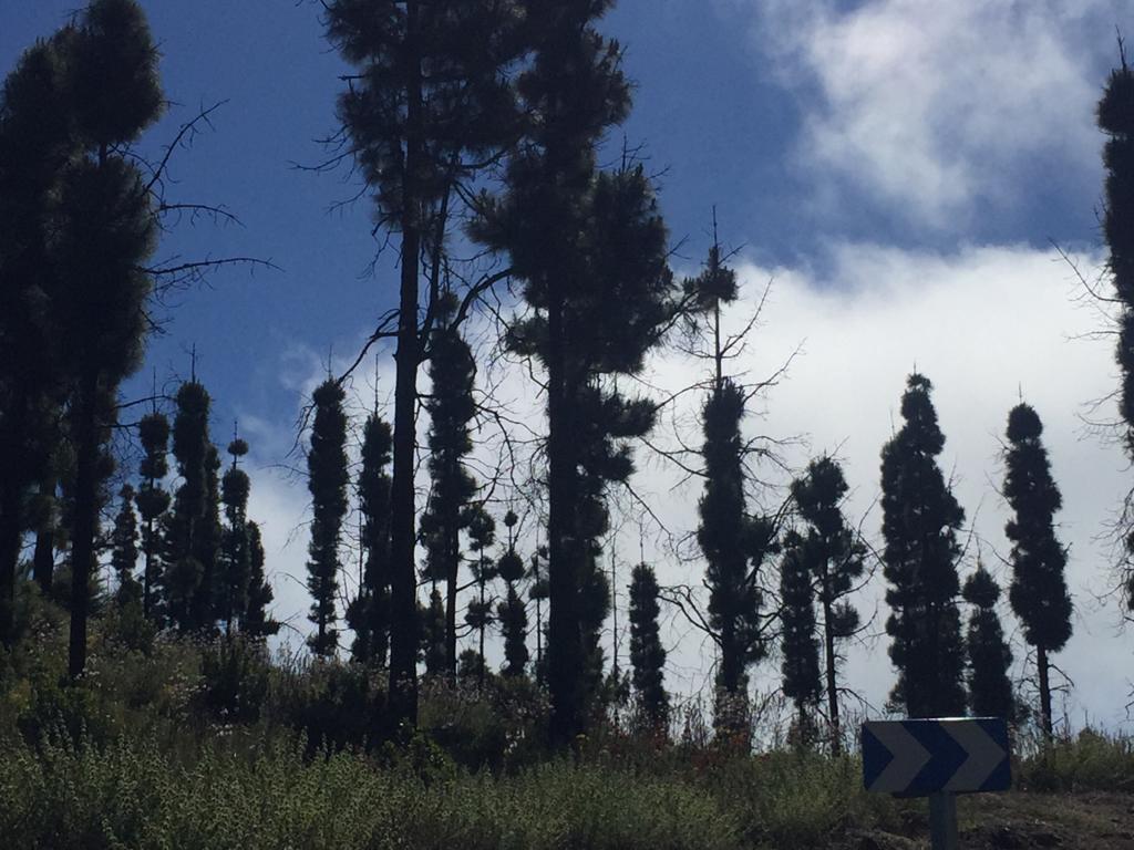 pinos canarios