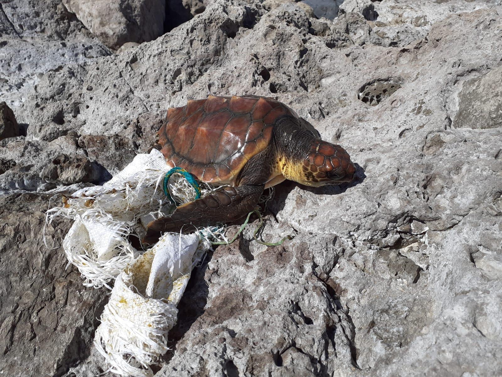 Tortuga rescatada. Gran Canraia