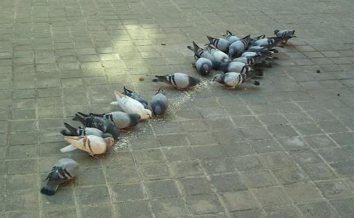 palomas comiendo