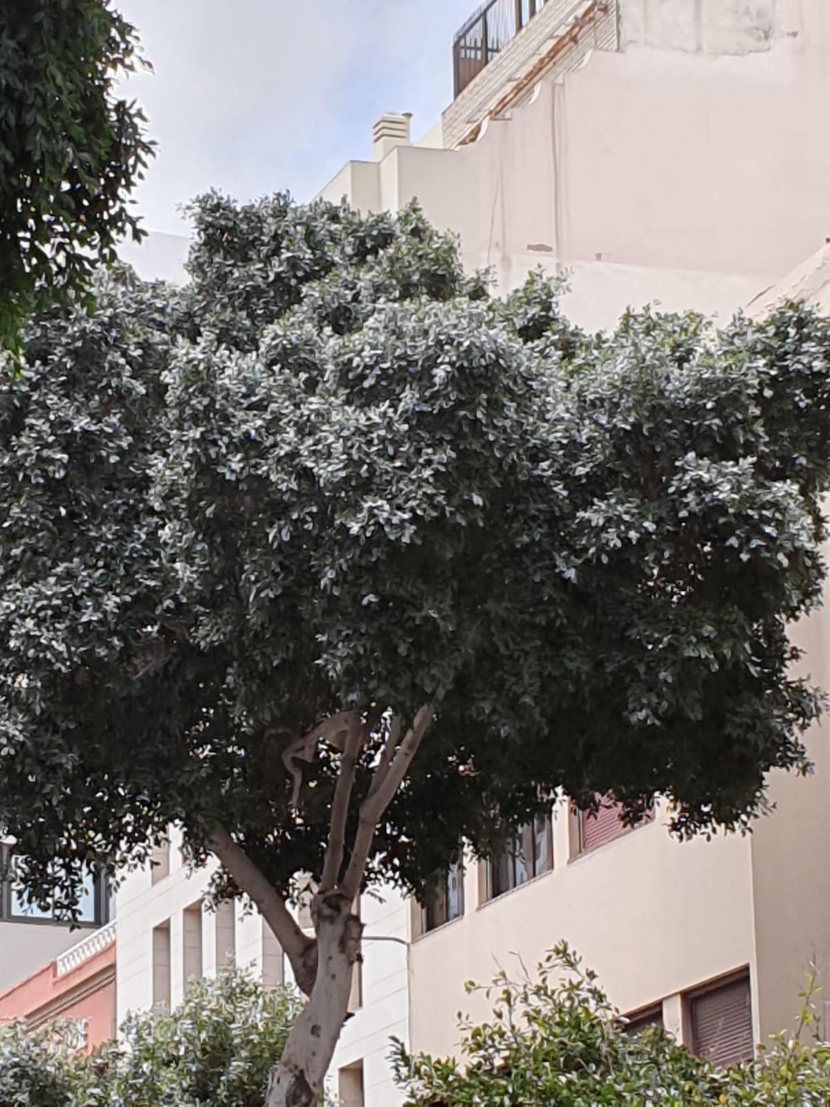 Mosca Blanca. Calle San Bernardo. Las Palmas de Gran Canaria