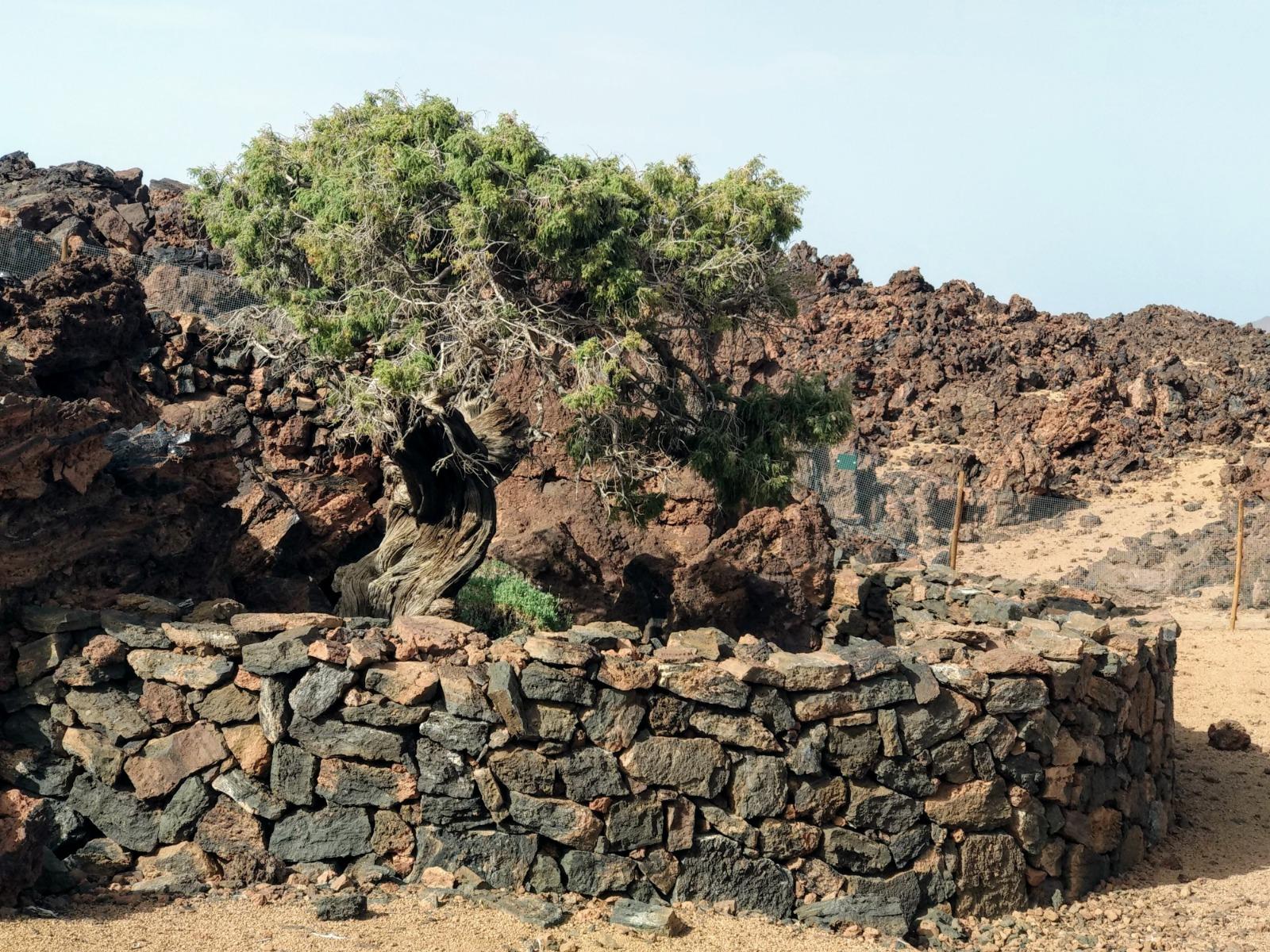 Cedro del Teide. Tenerife