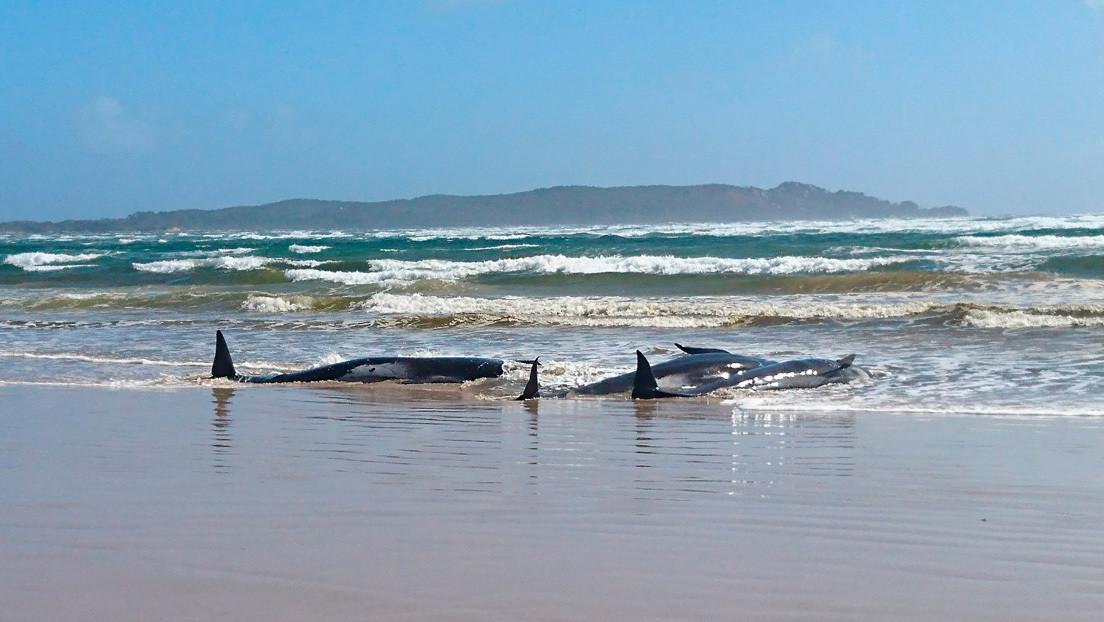 Ballenas varadas en las costas de Tasmania. Australia