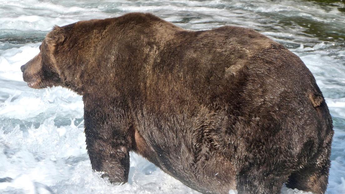 El oso 747 en el Parque Nacional de Katmai en Alaska, EEUU