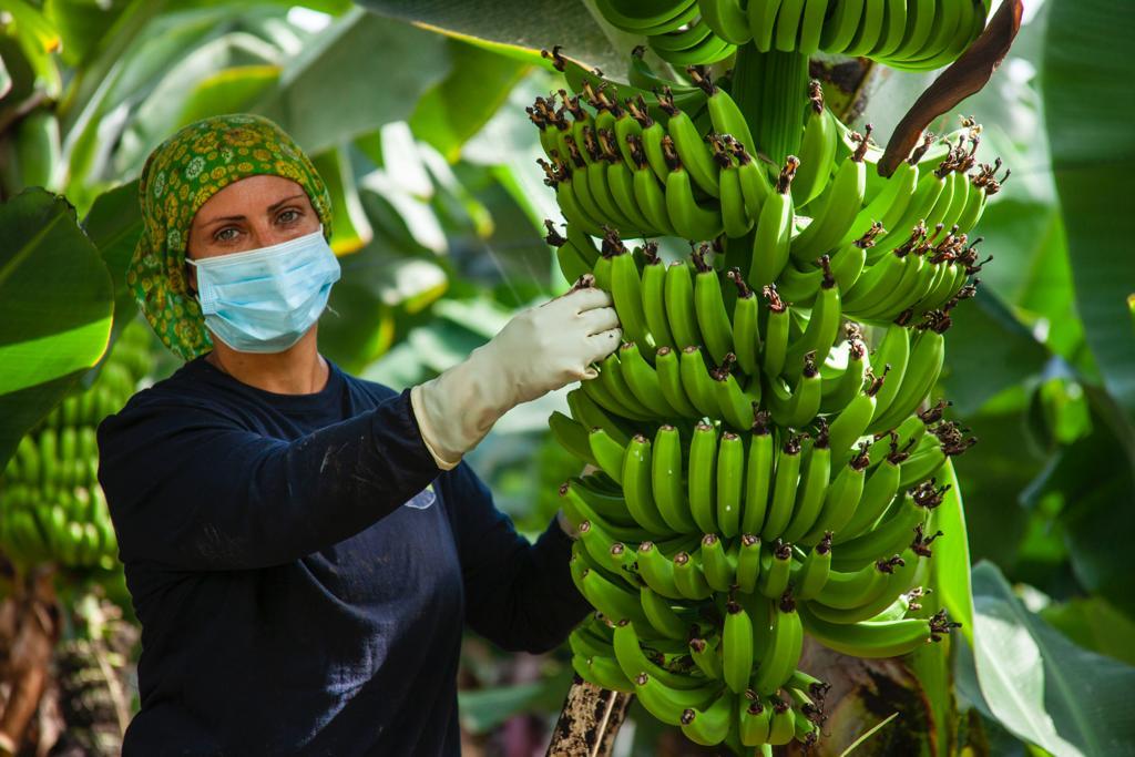 Recolección del Plátano de Canarias durante la Covid-19