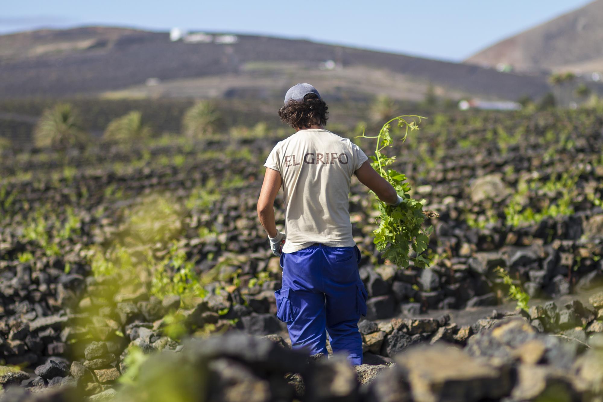 Trabajador de Bodegas El Grifo. Lanzarote