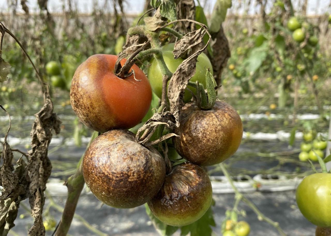 Hongos. Plagas. Tomates/ canariasnoticias.es
