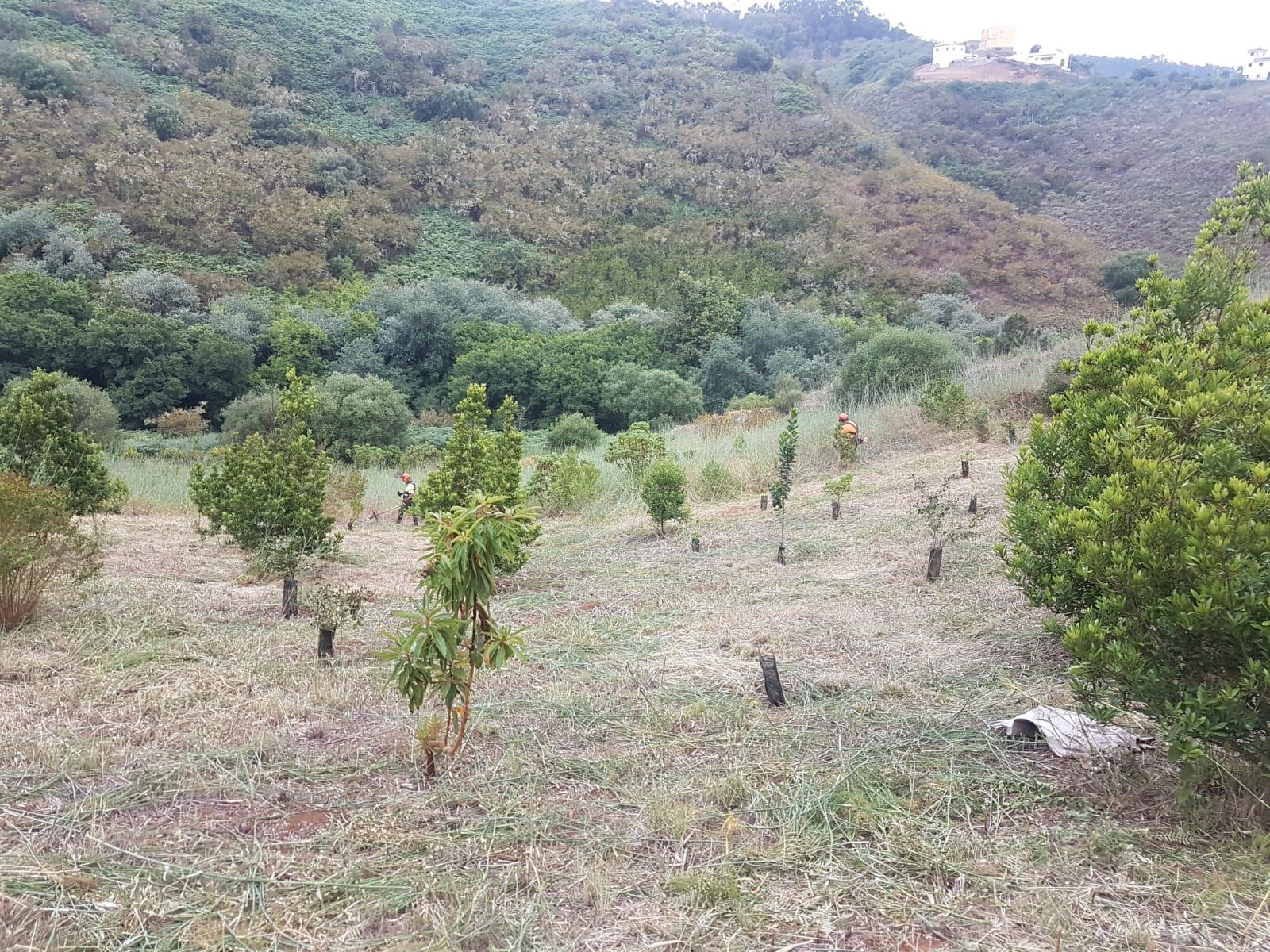 El Cabildo plantará 8.000 árboles en las ocho mayores fincas insulares de las medianías del norte de Gran Canaria