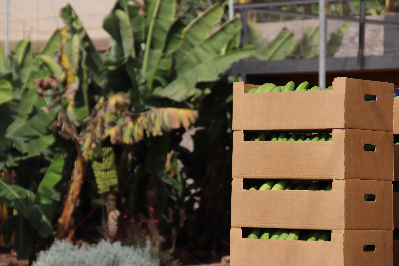 Plátanos con IGP de Canarias / CanariasNoticias.es