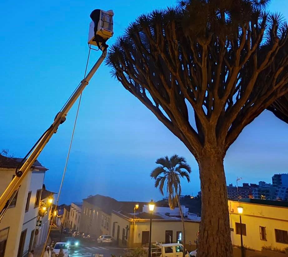 Nuevos tratamientos en los dragos gemelos y de San Francisco en Los Realejos (Tenerife)
