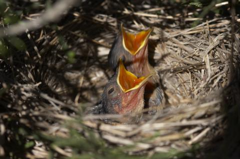 Nido con crías de aves