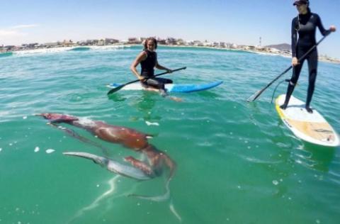 Calamar gigante en el mar con dos surferos