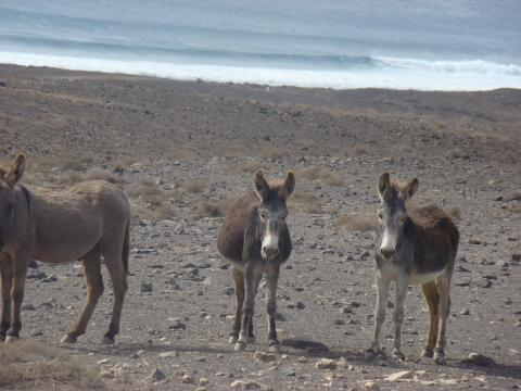Burros en Fuerteventura