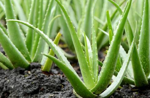 Planta de aloe vera