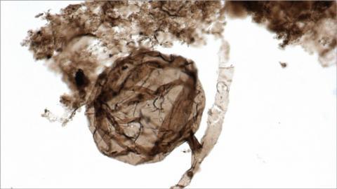 Fósil del hongo multicelular 'Ourasphaira giraldae'