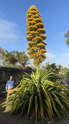 Agave caribeño gigante del Jardín Botánico florece
