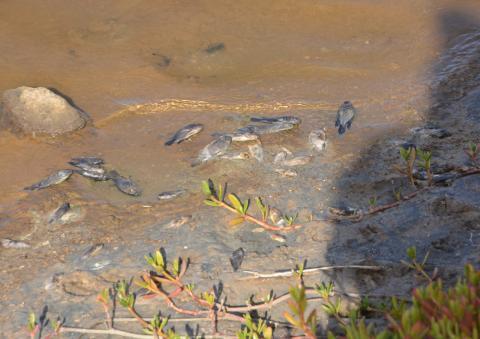 Peces muertos en la Charca de Maspalomas