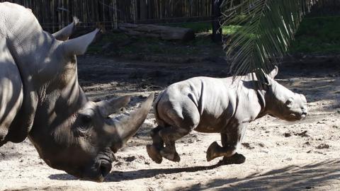 Anastasio, primer rinoceronte blanco nacido en América Latina