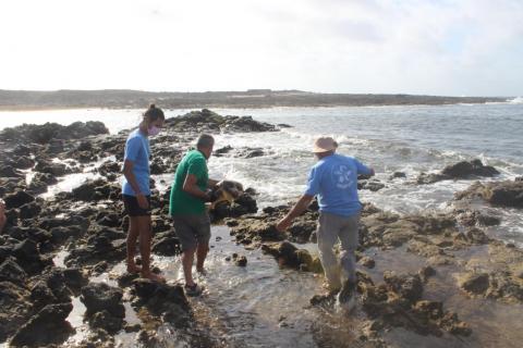 El Cabildo de Fuerteventura libera un ejemplar recuperado de tortuga boba