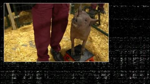 Primer cerdo 'cyberpunk' que lleva el dispositivo de Neuralink instalado en el cerebro