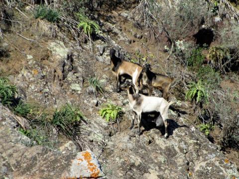 Cabras en las cumbres de Canarias
