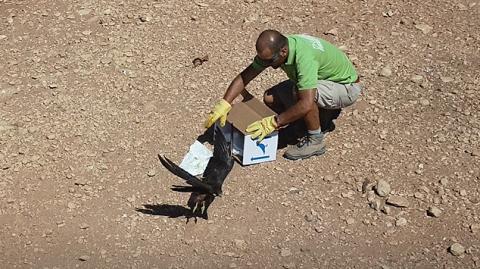 El Cabildo de Fuerteventura libera al halcón de Eleonor tras su recuperación