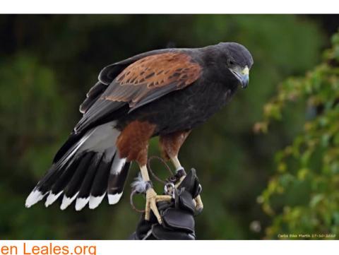 Kuki, el águila perdida en Gran Canaria