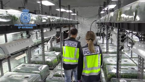 Incautación de plantas de marihuana / CanariasNoticias.es