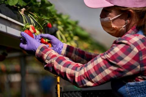 HiperDino comercializa fresas cultivadas en Canarias / CanariasNoticias.es