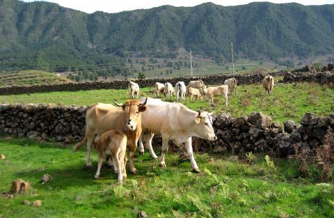 Vacas de raza palmera / CanariasNoticias.es